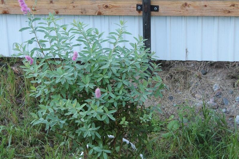 Фотоальбом «Осень - а что в саду и огороде»-Спирея японская цветет второй раз!