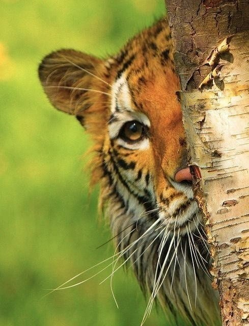 Тигра полосатая