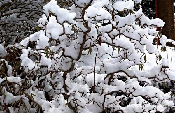 Кустарник ветки штопором. Увидев это диковинное растение хоть раз, забыть сложно. Неужели так бывает Бывает, причем чудо может расти на вашем участке, в средней полосе России! Очень сложного