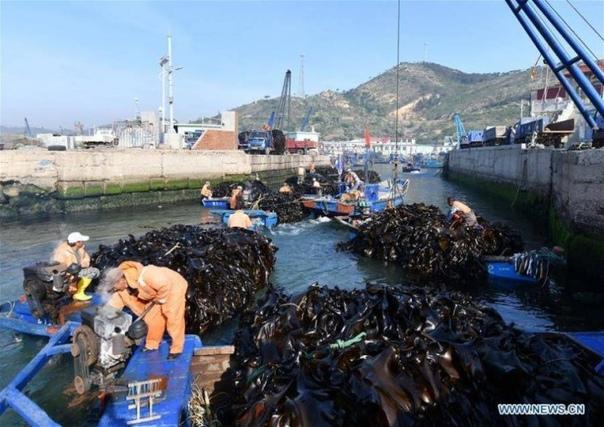 Как собирают урожай водорослей в Китае Водоросли являются ключевым источником дохода для фермеров в восточной провинции Шаньдун (Китай).На впечатляющих аэрофотоснимках, сделанных 23 мая 2019