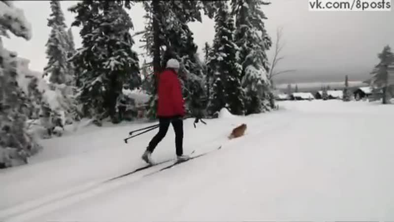 Ездовой кот тащит за собой девушку на лыжах Jesper the cat tows skier