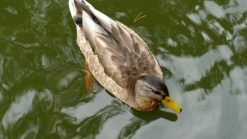 2018-08-24, уточка плавает в пруду, ботанический парк, Паланга.