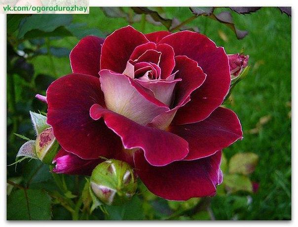 """Супер-средство """"Тройчатка"""" для проращивания роз"""