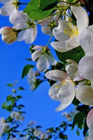 Яблоня цветёт.90щщщщщщщщщщщщщщ8777777777777777777777