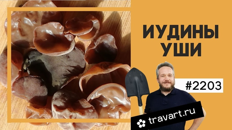 Аурикулярия уховидная Иудово ухо Древесное ухо Древесная медуза Wood ear Auricularia auricula judae