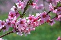 сакура цветы цветок розовый гламур веточка ветка цветение.