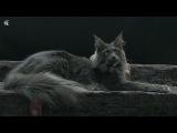 Кошка мейн-кун Candycoon's Katie Belle Blue голубой солид в 11 месяцев