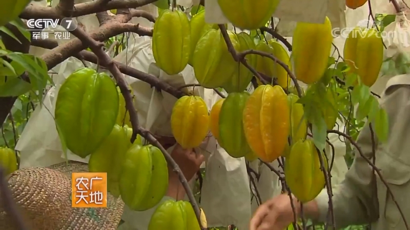 Карамбола лат Averrhoa carambola ЯнТао либо Тянь ЯнТао сладкая карамбола или Го ЯнТао фрукт карамбола но в