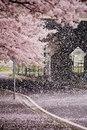 Время, когда опадают лепестки сакуры, в Японии называется сакура-фубуки…