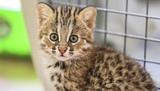 Вести.Ru: Жители Приморья спасли котенка амурского лесного кота, приняв его за обычную кошку