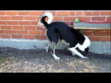 Amazing border collie dog playing with water bowl gets a little water obsessive