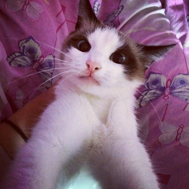Админ умоляю опубликуй!!!Сегодня в 12:00 пропала кошка,породы сноу-Шу!