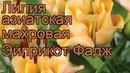 Лилия азиатская махровая Эйприкот Фадж 🌿 обзор как сажать, луковицы лилии Эйприкот Фадж