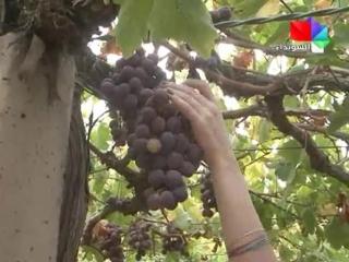 حكاية قطف العنب في بلدة قنوات