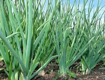 13 особенностей выращивания репчатого лука!