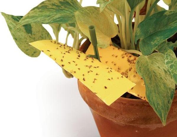 как избавиться от цветочных мошек маленькие цветочные мошки, вьющиеся над горшочками с растениями, принадлежат семейству sciaridae и распространены практически везде. в ёмкость с растениями они