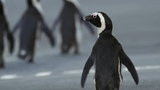 Penguin Crosses Cape Town To Find Mate Cities Nature's New Wild