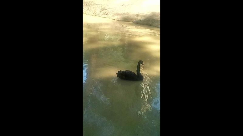 Чёрные лебеди в Сочинском дендрарии