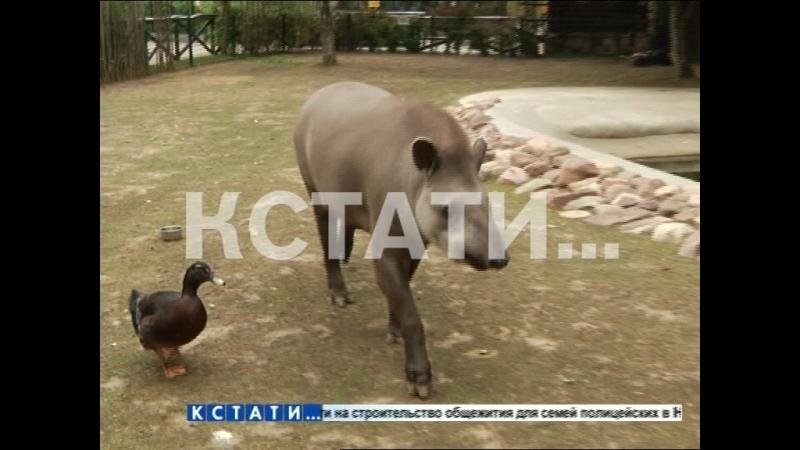 Травоядная ясновидящая - тапир Клеопатра в нижегородском зоопарке угадывает результаты матчей