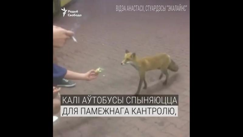 Видеофакт: на погранпереходе Брест-Тересполь лиса угощается лакомствами проезжих людей