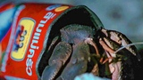 Crafty Hermit Crab Finds a New Home in a Food Tin BBC Earth