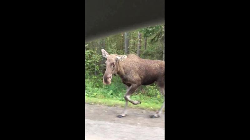 На дороге в Перми заметили лосенка