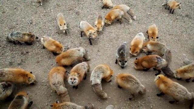 キツネがゲシュタルト崩壊してきた。。。U´エ`U of foxes with extremely fluffy