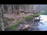 Как чихают олени
