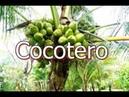 El Cocotero - es una especie de palmera, familia Arecaceae