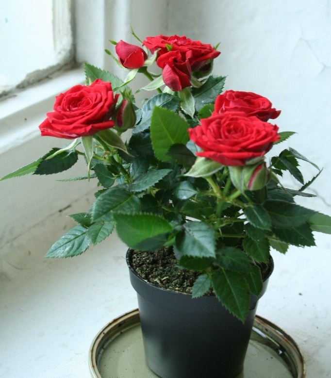 Комнатные розы фото уход в домашних условиях