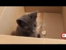 Смешная кошка играет с коробкой! Прикол!! смешные животные видео 16