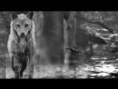 Одинокий волк (Александр Розенбаум)