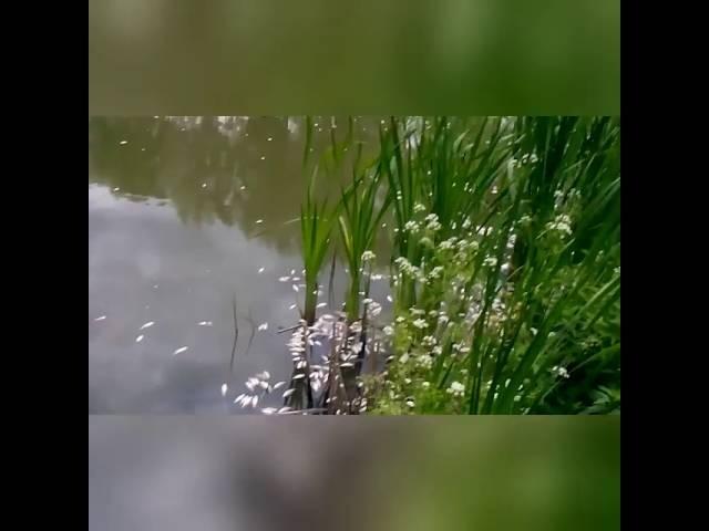 В Козельці отруїли річку. Підземними водами доходить до сусідніх сіл.