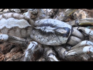 Descubren tarántula gigante en Sri Lank ( Poecilotheria rajaei )