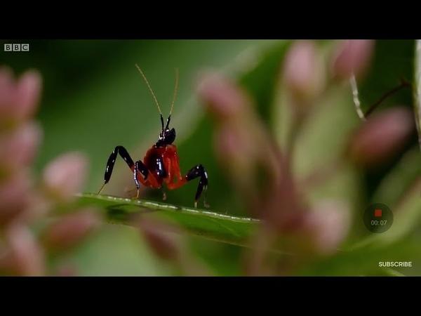 Орхидейный богомол против паука скакуна