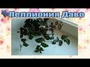 Пеллиония Даво Pellionia daveauana содержание и уход