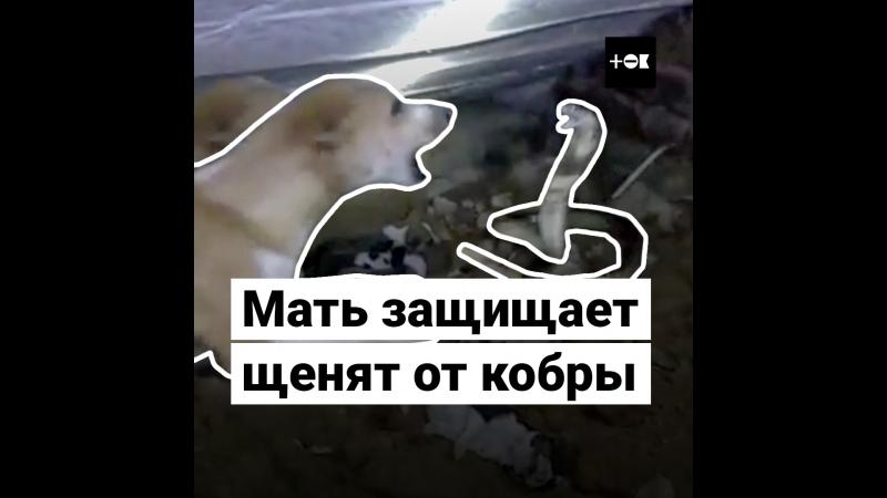 Собака защищает щенков от кобры