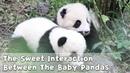 The Sweet Interaction Between The Baby Pandas   iPanda