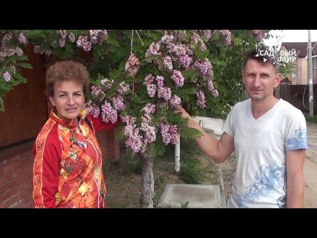Чудо дерево Розовая акация в Средней полосе Робиния клейкая
