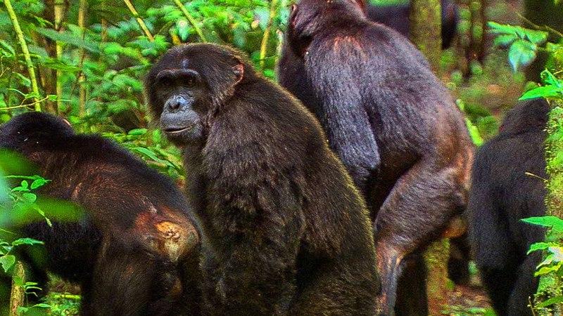 Chimpanzees Fight off Rival Community   BBC Earth