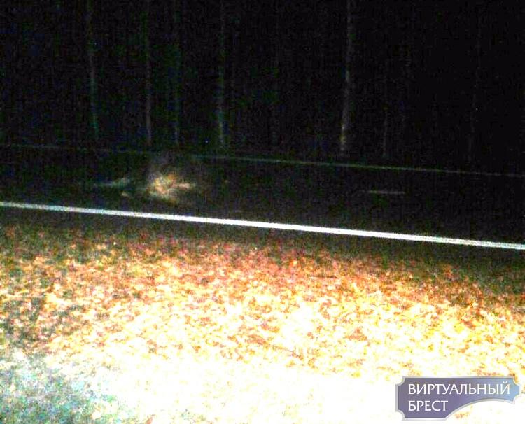 На М1 авария - AUDI сбил двух лосей, пострадала женщина