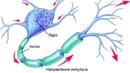 Нервный импульс. Почему он движется в одном направлении Зачем нужен миелин