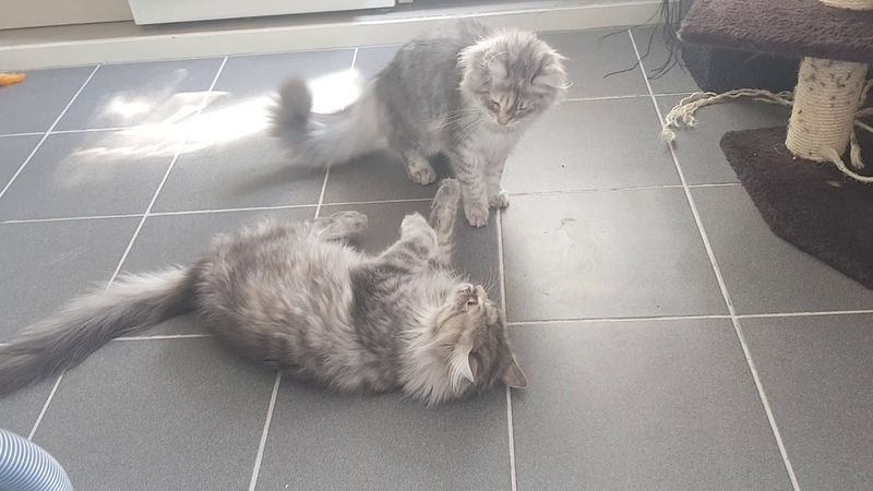 Maine coon fight | mother and kitten challange