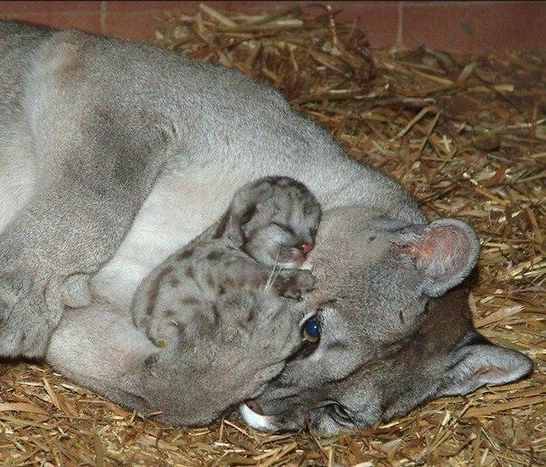 Маленькая пума с мамой!