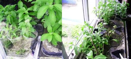 Когда и как выращивать стевию в домашних условиях 897