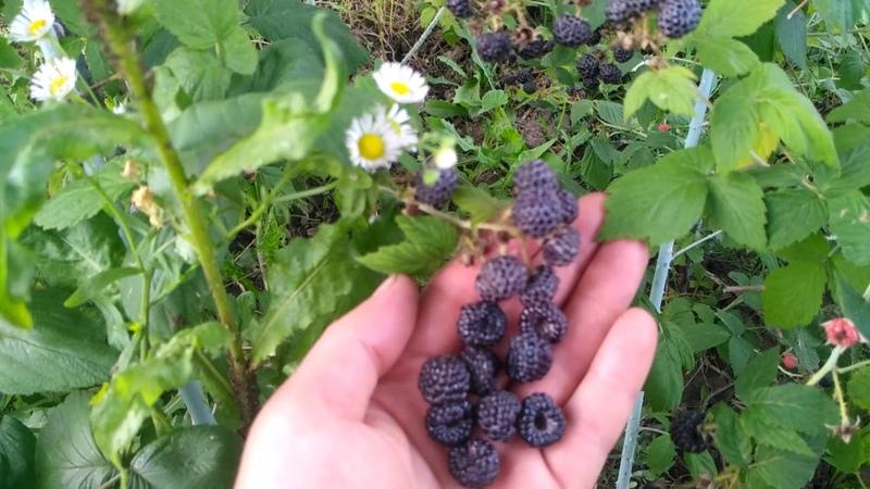 Черноплодная малина Кумберленд и Бристоль Найди три отличия
