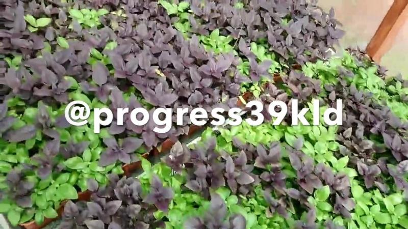 Базилик PROGRESS Grow