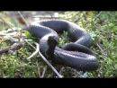 Змея Гадюка черная в лесу Встреча со змеёй