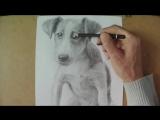 Как нарисовать щенка джек рассел терьера карандашом