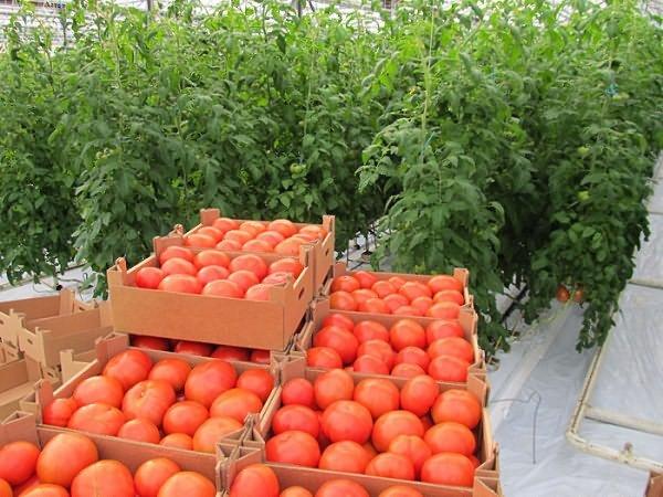 Секреты выращивания томатов, если хотите получать по 2 ведра с куста!